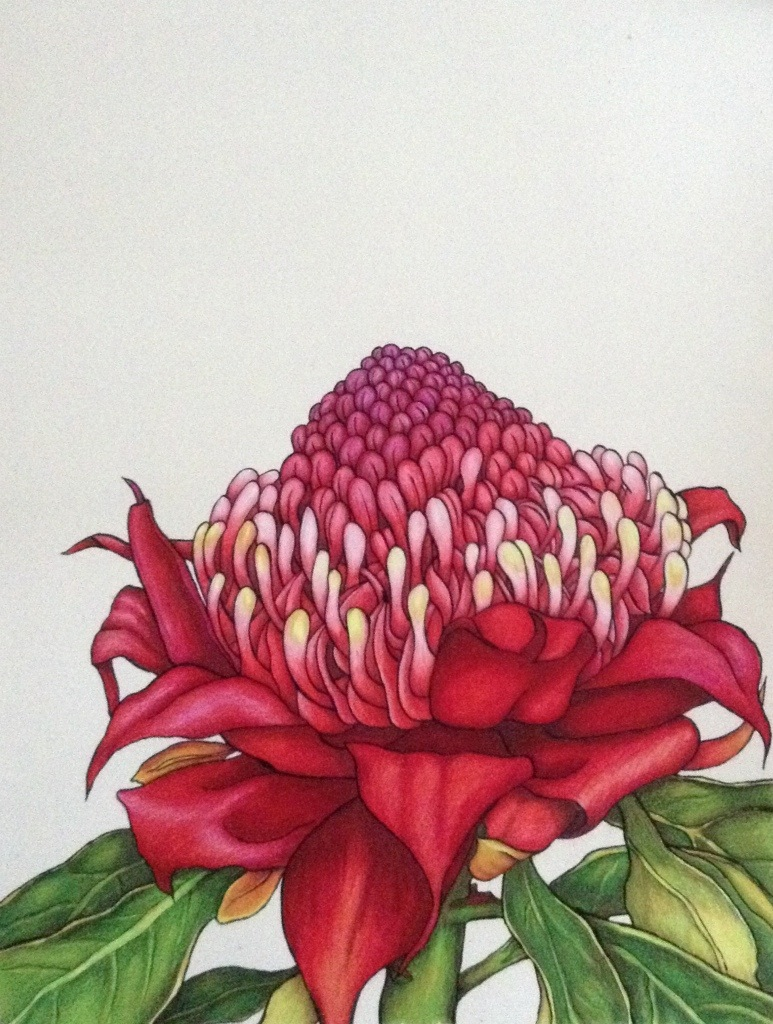 Australian Flowers Drawing Drawing of a Flower