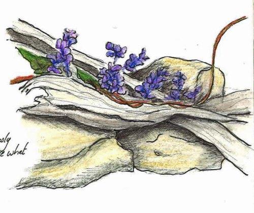 Sarsparilla Vine