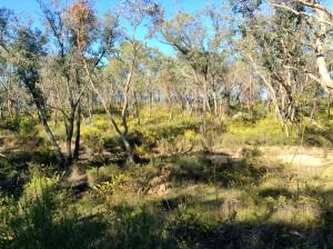 Wattle in the bush