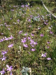 Waxlip Orchids
