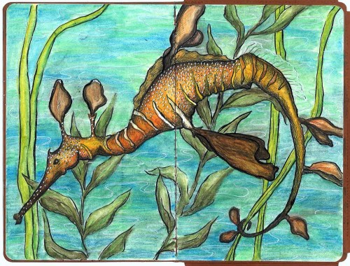 Weedy Sea Dragon Ink and Watercolour pencils  Anna Warren Collaboration