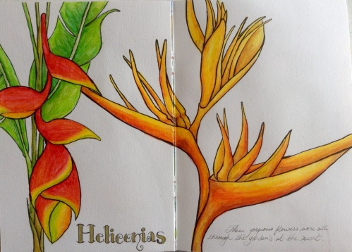 Heliconias  watercolour pencil and ink Bali 2015 Journal