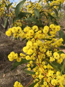 Golden Wattle Goldfield track Castlemaine.