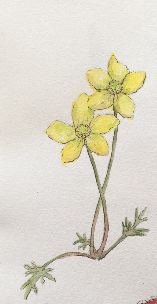 Native buttercups Ink and watercolour