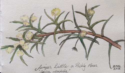 Juniper Wattle or Prickly Moses Ink and water colour