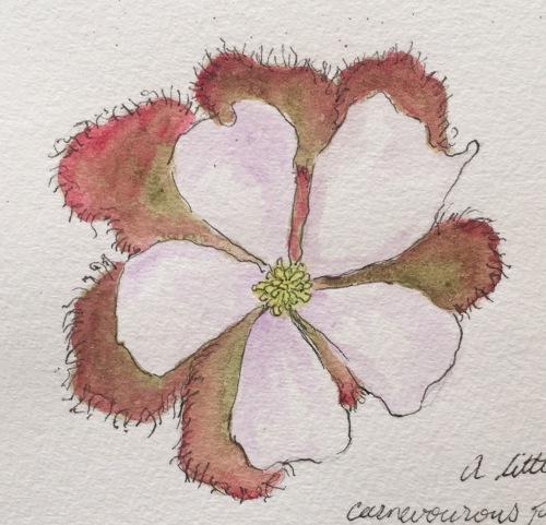 Scented Sundew Ink and watercolour