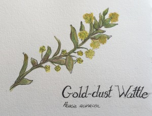 Gold dust Wattle water colour and ink