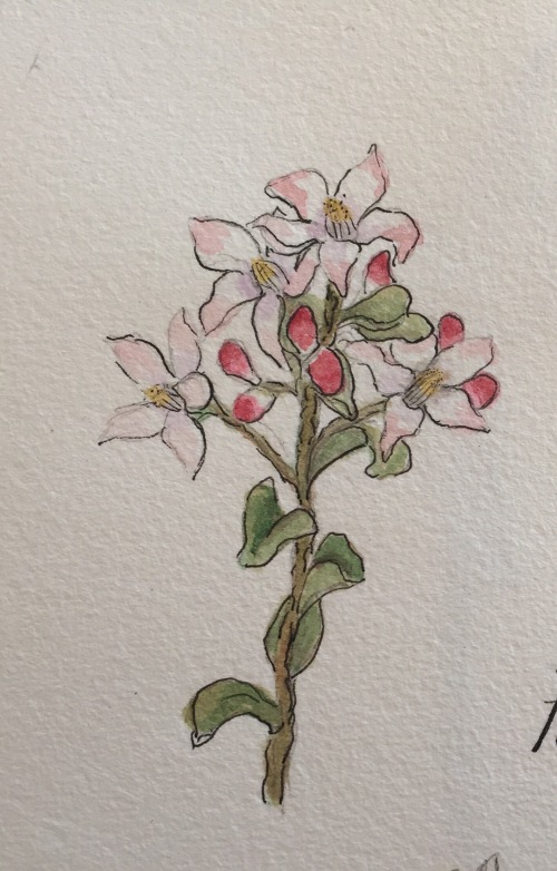 Fairy Wax Flower, Water colour and ink