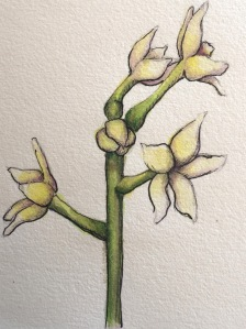 Unknown flower as yet, watercolour and ink
