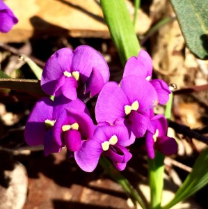 Happy Wanderer 'Hardenbergia violacea'