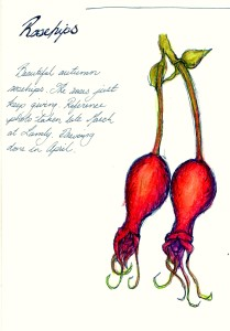 Rosehips May 2016 Pen and water colour Pencil