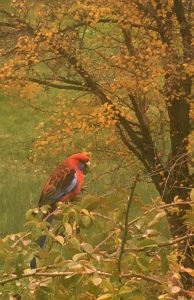 Rosella in the rose hedge