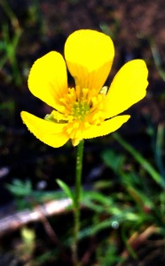 Buttercup 'Rununculus lappaceus'